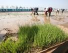 Trung Quốc phát triển loại lúa có thể trồng trong nước biển
