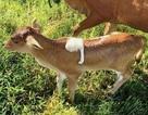 Lưng bê con mọc thêm 1 cái… chân biết chuyển động