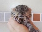 Mèo 2 mặt gây choáng cho bác sĩ vì sống sót sau sinh