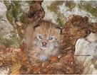 Phát hiện giống mèo hoang quý hiếm tưởng như đã tuyệt chủng