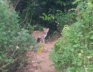 Chụp được cá thể nghi mèo rừng quý hiếm ở Sơn Trà