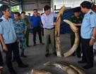 Vụ đánh tráo 150 kg ngà voi tang vật: Xử cán bộ, xác định trách nhiệm lãnh đạo