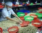 Ngành điều Việt Nam: Kỷ lục 11 năm đứng đầu thế giới và thách thức tiếp theo