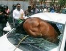 Ấn Độ: Nắng nóng dữ dội, ngựa nổi khùng lao thủng kính chắn ô tô đang chạy