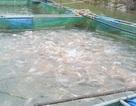 Cá lớn không bán được, người nuôi cá lồng gặp nhiều khó khăn