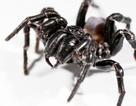 Nọc độc của nhện giúp giảm tổn thương não sau đột quỵ