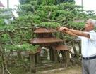 Siêu phẩm cây sanh cổ: Hiếm có khó tìm, giá đỉnh 120 tỷ đồng