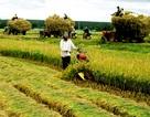 Năm 2020, nông dân sẽ có thu nhập bình quân trên 43 triệu đồng/năm