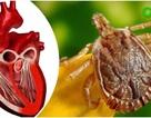 Phát hiện nước bọt của ve có thể chữa trị bệnh tim