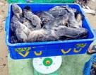 """Hàng chục tấn tôm hùm, cá mú, cá bớp… """"rẻ như cho"""" sau bão Damrey"""