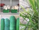 """""""Trang trại"""" mini ngập tràn rau, gà, chim câu của bà mẹ Hà Nội"""