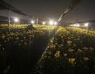 Cánh đồng hoa Tây Tựu sáng rực về đêm