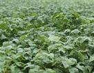 Việt Nam lần đầu tiên có vùng trồng đậu nành theo tiêu chuẩn quốc tế GACP-WHO