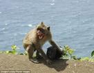 """Du khách nên cẩn trọng với những chú khỉ """"mafia"""""""