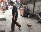 Nổi tiếng khắp làng vì đi dạo cùng vịt 3km mỗi ngày