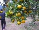Thu nhập hàng trăm triệu đồng nhờ trồng cây quýt đặc sản