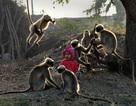 Ấn Độ: Tình bạn thân thiết của cậu bé 2 tuổi và bầy khỉ hoang
