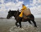 Nghề lạ ở Bỉ: Cưỡi ngựa bắt tôm