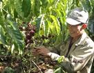 Giữ vững vị thế của cà phê Việt: Khó hay dễ?
