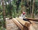 Bắt nguyên giám đốc bị cáo buộc hủy hoại 49ha rừng