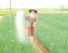 """Tết cận kề, rau xanh """"rớt"""" giá, nông dân lo lắng"""