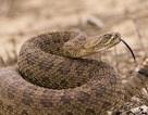 Cha mẹ kinh hãi phát hiện hàng chục con rắn độc lúc nhúc trong đồ chơi của con