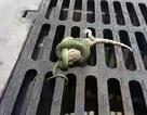 Màn tẩu thoát ngoạn mục của tắc kè trong vòng siết của rắn độc