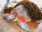 Cứu rùa biển quý hiếm bị thương trôi dạt vào bờ
