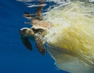 1000 con rùa biển chết mỗi năm do rác nhựa đại dương