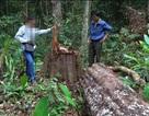 Công ty du lịch bị thu hồi dự án vì tiếp tay cho lâm tặc phá rừng