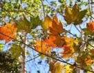 Ngẩn ngơ với vẻ đẹp của những khu rừng lá phong đỏ ngay tại Việt Nam