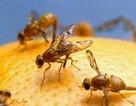 Nông nghiệp Pakistan mất 200 triệu USD chỉ vì ruồi