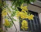 Ngẩn ngơ ngắm hoa muồng hoàng yến nở vàng rực giữa trời Hà Nội