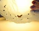 Các nhà khoa học phát hiện ra loại ấu trùng có thể ăn và phân hủy nhựa