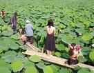 Hà Nội: Lội bùn chụp ảnh sen, phó nháy kiếm tiền triệu mỗi ngày