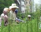 """Hà Nội: Cỏ dại um tùm biến một số tuyến phố nội đô thành… """"vườn hoang"""""""
