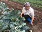 10 thước súp lơ không bán nổi một cây, nông dân mất trắng cả chục triệu đồng