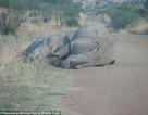 Đau lòng hình ảnh tê giác mẹ đang mang thai và con bị săn trộm bắn chết