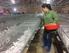 Bỏ túi 50 triệu đồng/tháng nhờ nuôi thỏ New Zealand