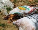 Vụ heo chết vứt đầy đường: Huyện chưa có bãi rác xử lý tập trung