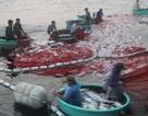 Chủ tàu cá đã bán hết mẻ cá bè 150 tấn