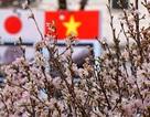 12.000 cành anh đào Nhật Bản khoe sắc bên hồ Gươm