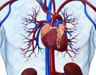 Một trái tim lão hóa có thể làm suy yếu trí nhớ