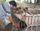 """3 tháng """"giải cứu lợn"""" giúp người chăn nuôi giảm thua lỗ hàng nghìn tỷ đồng"""