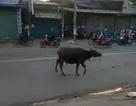 Trâu điên rượt đuổi người trên đường phố