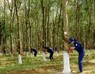 """Đại gia Việt """"rút két"""" hơn 4 tỷ USD trồng cao su, mía đường ở Lào, Campuchia"""