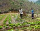 Chuyện trồng rau thoát nghèo nơi người dân… không quen ăn rau