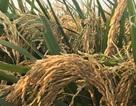 """Hãi hùng cây lúa biến dạng cạnh khu công nghiệp, im lặng để… """"chìm xuồng""""?"""