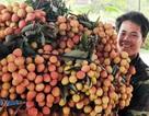 Nông dân thu nhập cao từ vải thiều
