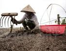 Thái Bình: Kiếm tiền triệu từ nghề cào ngao thuê ở Đồng Châu